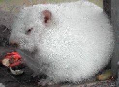 2 Février - Fête de la marmotte Wiarton-willie-01